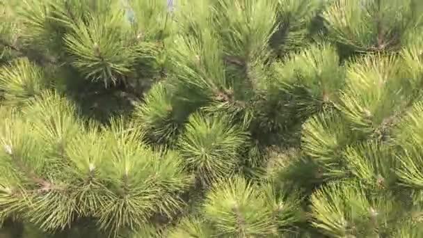 Zelený smrk strom pozadí