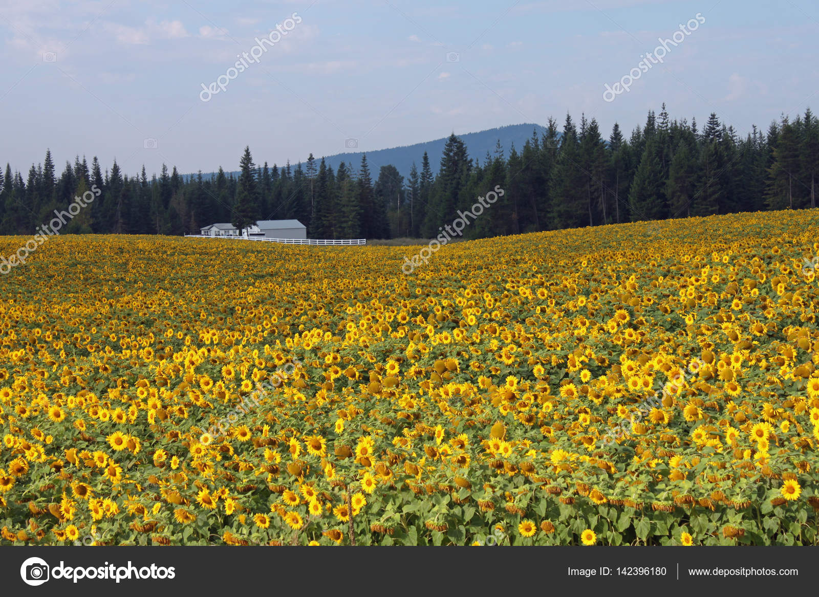 White Farmhouse In A Field Of Yellow Sunflowers Stock Photo