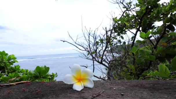 Tropical flower Plumeria alba White Frangipani on the precipice of a cliff. Ocean and sky background. Bali, Indonesia. reeping red ants.