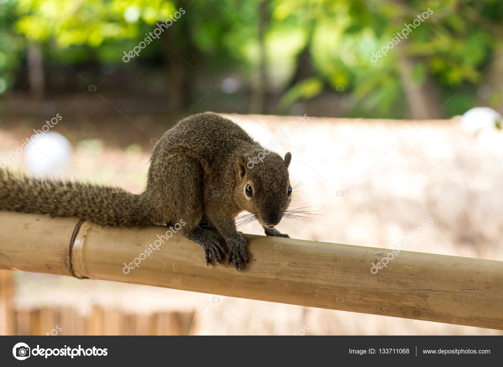 Asiatische Eichhörnchen
