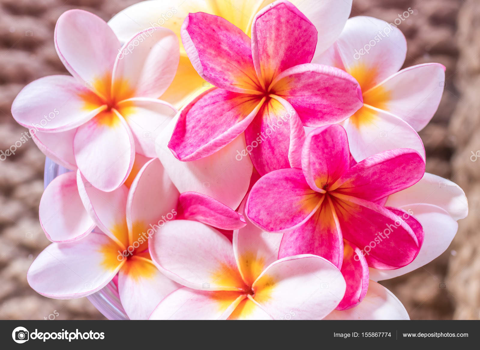 Plumeria flower pink and white frangipani tropical flower plumeria plumeria flower pink and white frangipani tropical flower plumeria flower bloominge spa flower mightylinksfo