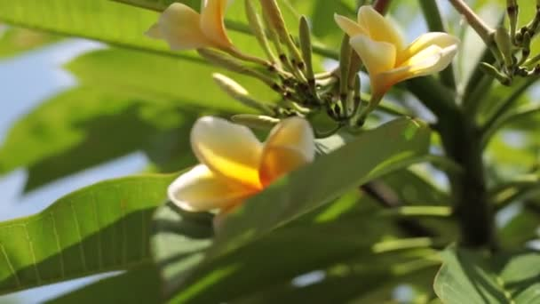 Close up of plumeria frangipani tree in the balinese garden. Tropical island of Bali, Indonesia.