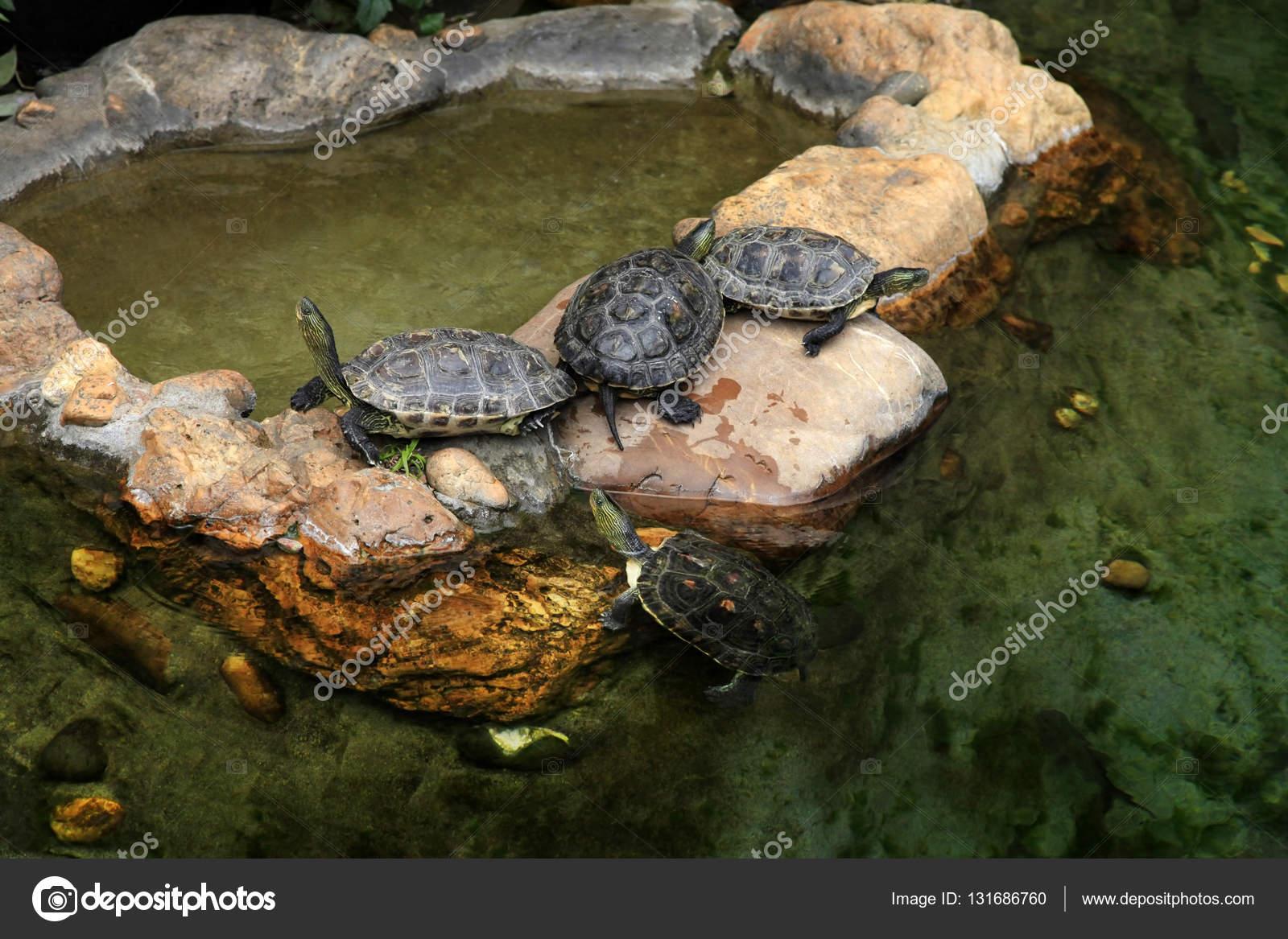 Tortugas de orejas rojas en el estanque foto de stock - Estanques para tortugas de agua ...