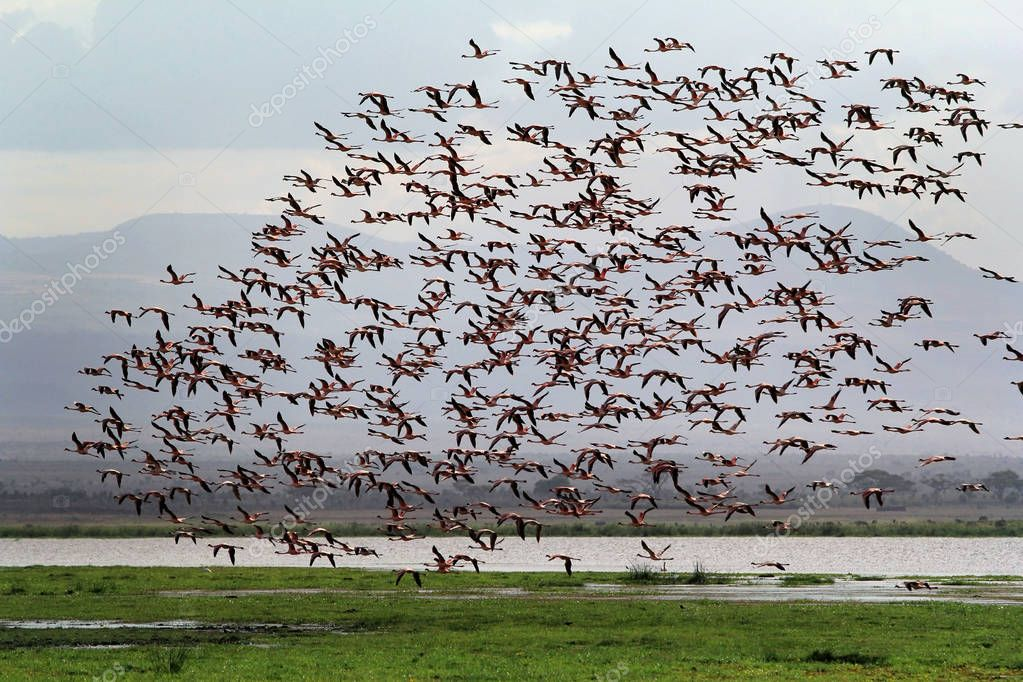 Large flock of flamingos in the Amboseli National Park. Kenya