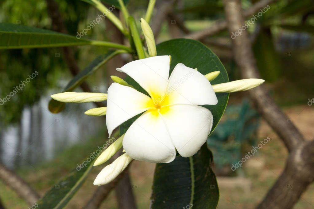Plumeria or Frangipani flower.