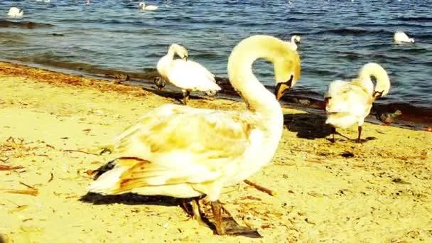 Höckerschwan an einem Sandstrand Nahaufnahme, Wildvogel