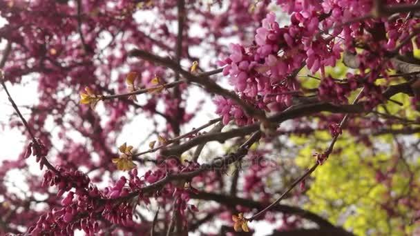 Kvetoucí strom Jidáš detailní video