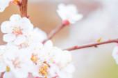 Abstraktní rozmazané květinové pozadí. Plně kvetoucí a první listy lesních stromů. Jaro, hostina, oslava a krásná květinová dekorace koncepce. Detailní záběr s měkkým selektivním zaměřením. Izolované