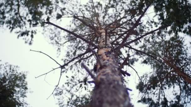 High pine. Tree trunk.