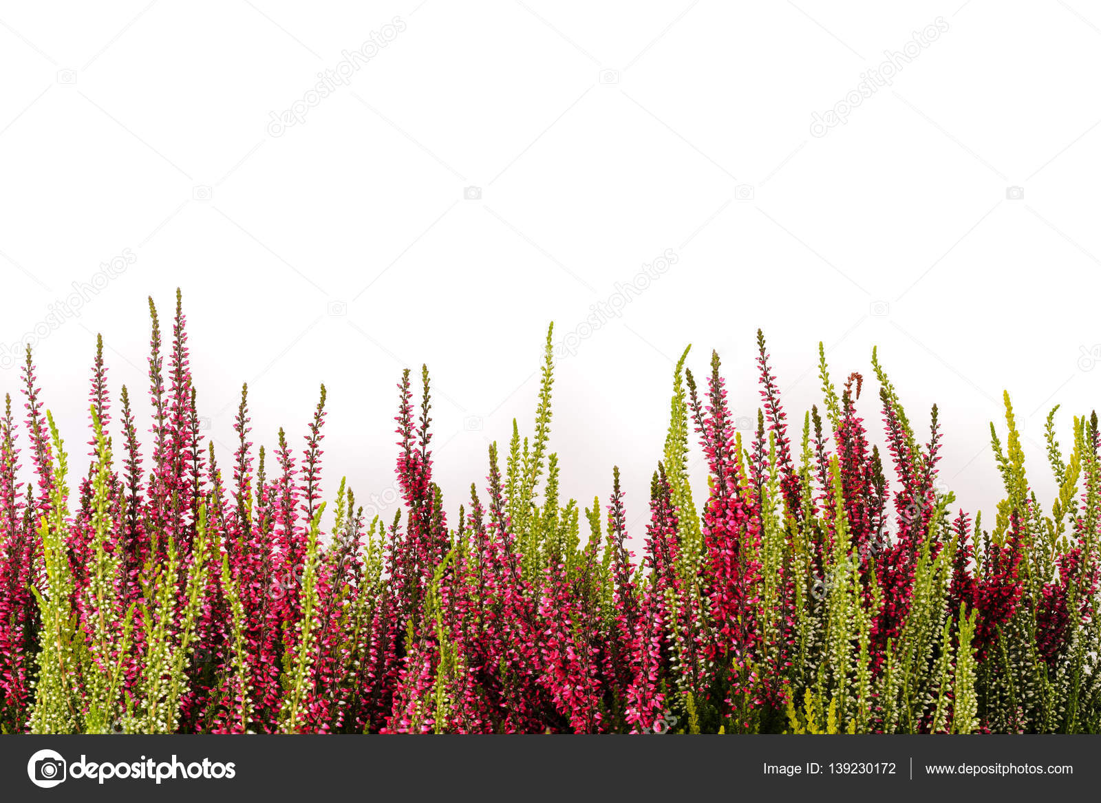 Pink And White Heather Stock Photo Tom19275 139230172