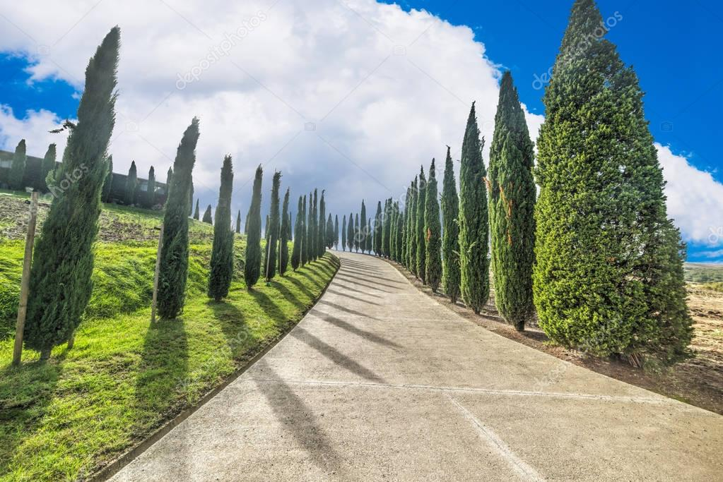 Cypress row in Val d'Orcia