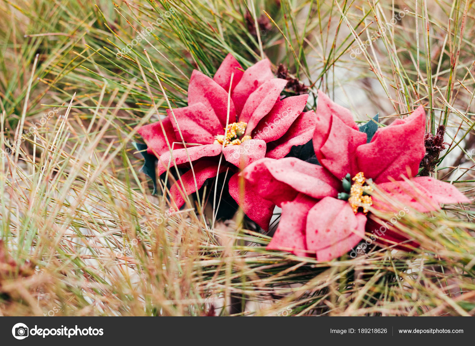 Red poinsettia flower on pine tree stock photo sangapark 189218626 red poinsettia flower on pine tree stock photo mightylinksfo