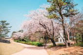 Fortezza di Hwaseong con fiori di ciliegio in Suwon, Corea del sud