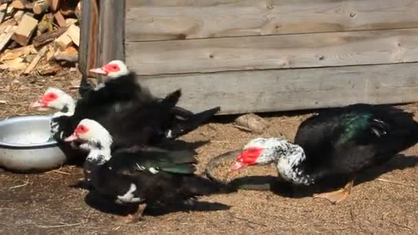 Muscovy ducks eat in the poultry