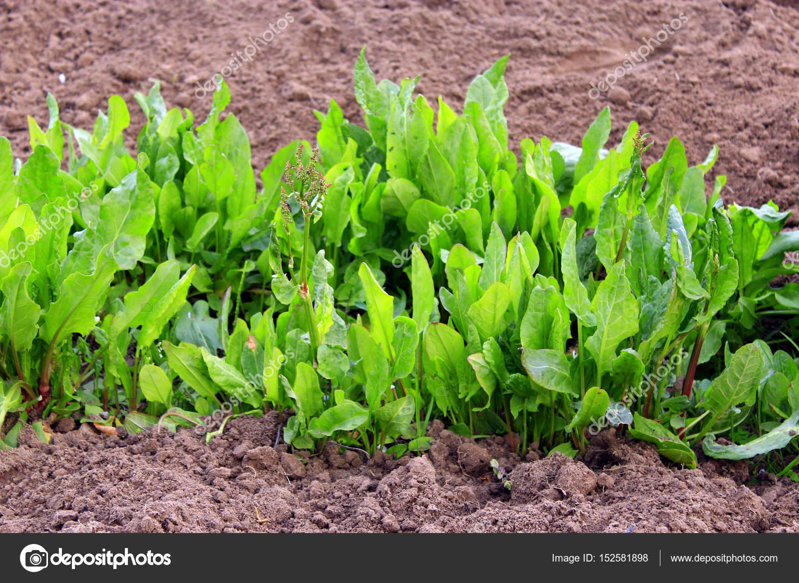 Sauerampfer wächst auf der Küchengarten — Stockfoto © alexmak72427 ...