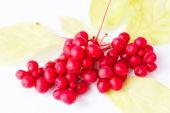 red ripe schisandra on the white