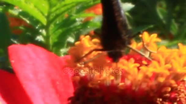 peacock eye on the marigolds