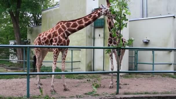Lodž / Polsko. 18 Červen 2019: Dvě žirafy jedí javorové listy v ZOO Lodz. Vysoké žirafy jedí listy v ZOO. Nejvyšší zvíře. Skvrnitá žirafa. Nejvyšší savec na světě