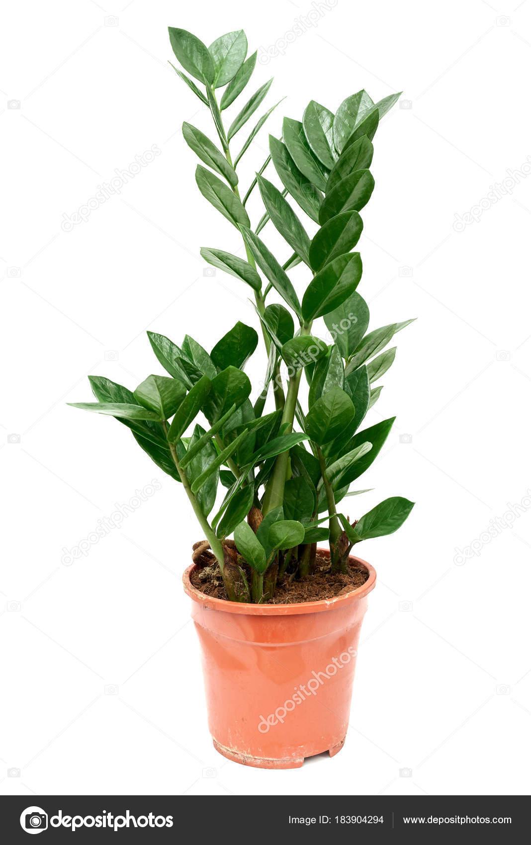 Fleur Zamioculcas Zanzibar Gem Plante Aracee Palmier Pot Plastique