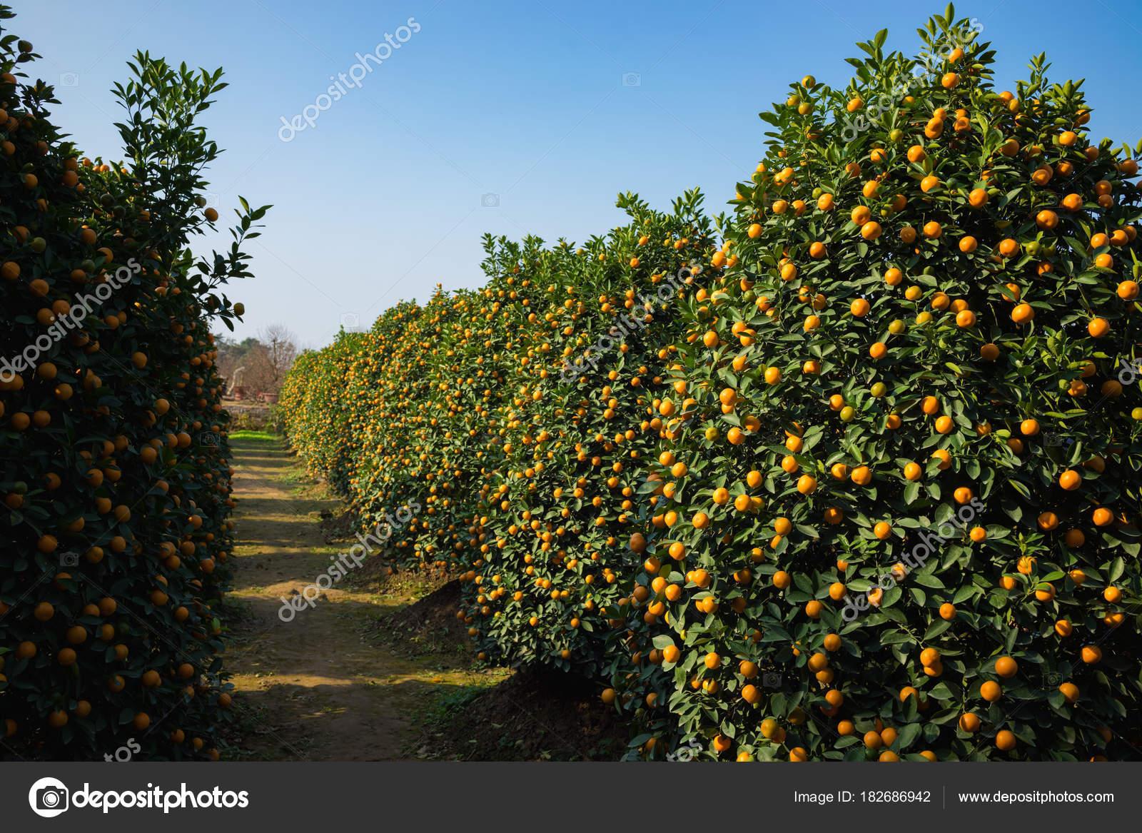 Kumquat Garden Symbol Vietnamese Lunar New Year Nearly Every ...