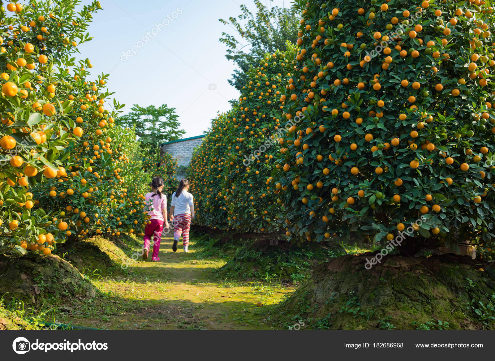 kumquat garden symbol vietnamese lunar new year nearly every household stock photo - Vietnamese Garden