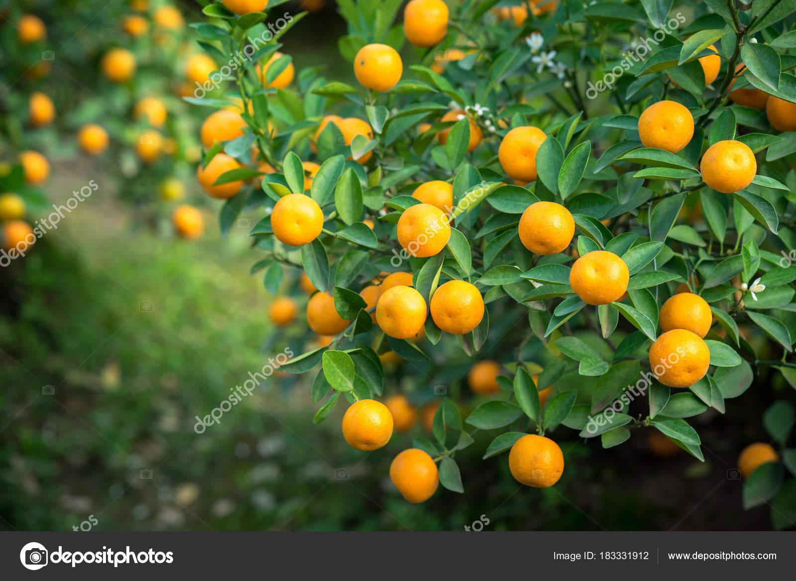 Kumquat Tree Together With Peach Blossom Tree Kumquat Is One Of 2