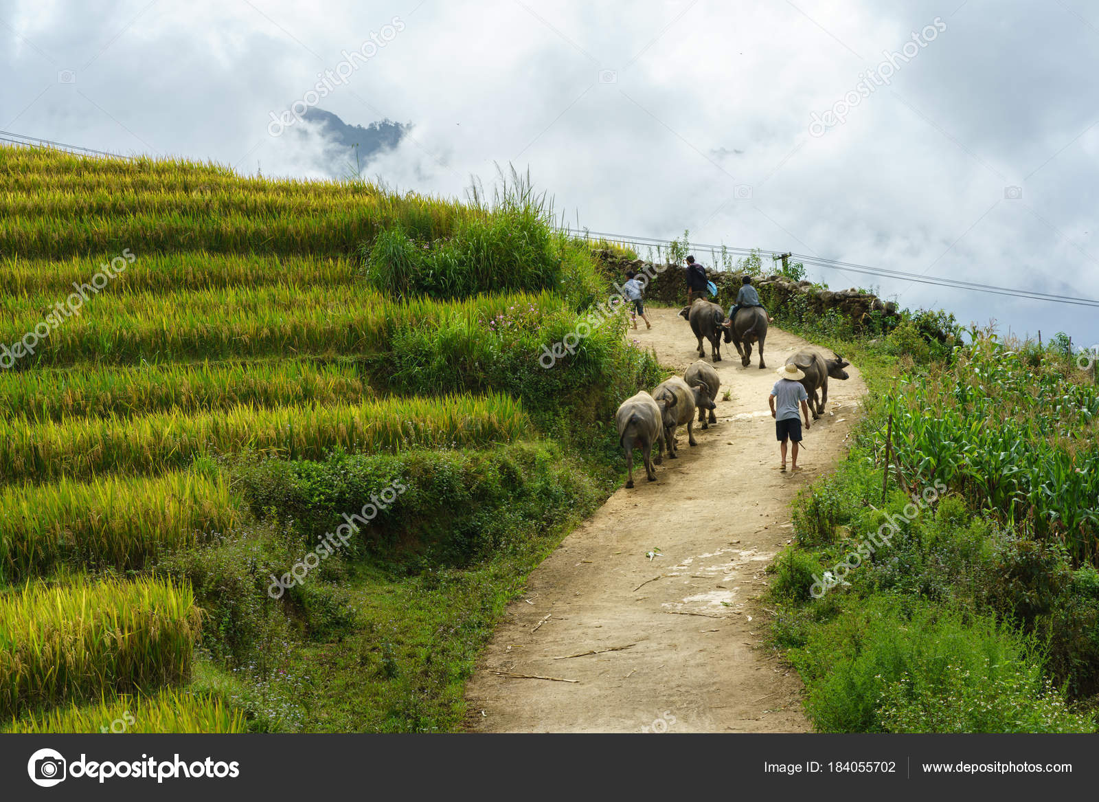 Terraza Del Norte Pasto Carretera Con Búfalos De Agua