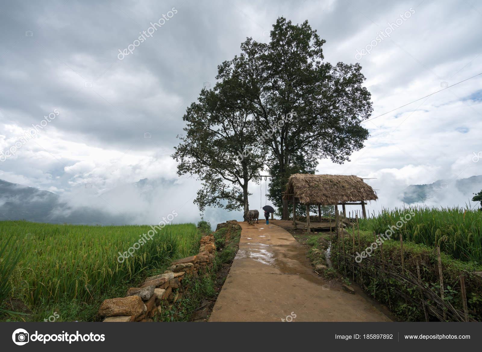 Terrazas De Arroz Campo Paisaje Con Camino Y árbol Grande De