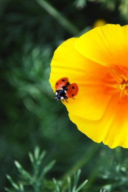 bright red ladybug sits on yellow petals