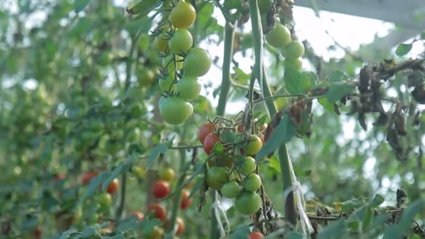 Green tomato plants grow in greenhouse on farm.