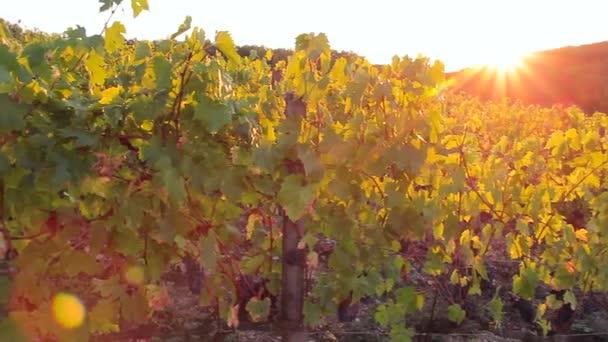 Při západu slunce slunce svítí na vinici a barvy ve zlaté barvě.
