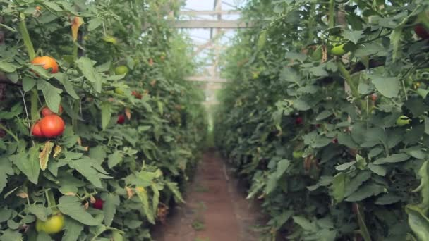 Rows of growing green tomato plants in greenhouse on farm