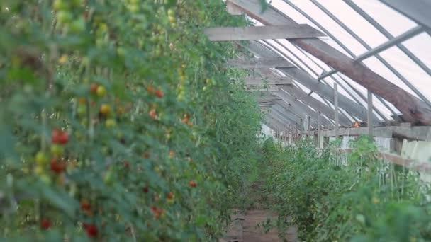 close up opnamen tomaat takken met vruchten binnen grote serre stockvideo
