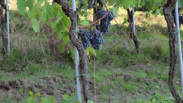 Ripe bunches of grapes on bush on plantation outdoors.