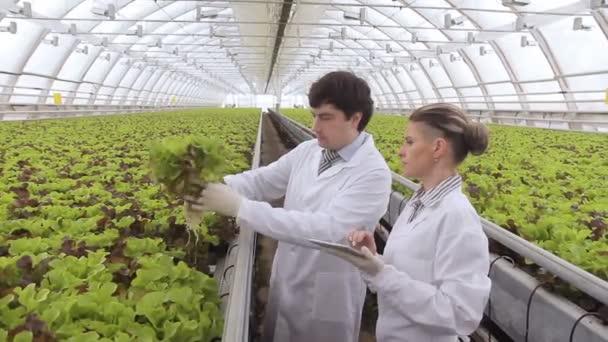 Odborníci zkontrolujte salát v hydroponii ve skleníku.
