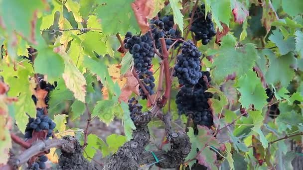 Juicy and ripe bunches of blue grapes hang on a green bush.