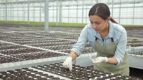 Zahradník se stará o rostliny plevele odstraňuje malé hrnce salátu ve skleníku. výstřel z cesty mezi rostoucí rostlinné kultury uvnitř