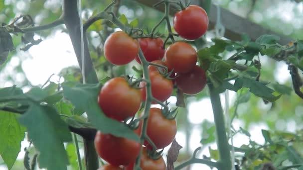 Banda zralá rajčata roste na vysoké zelené bush ve skleníku.