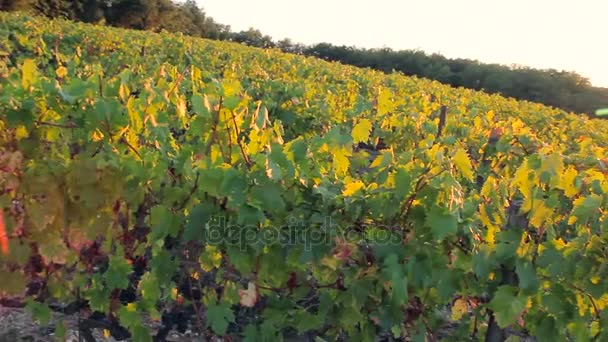 Red grape growing on the vines is on the sunset in countryside.