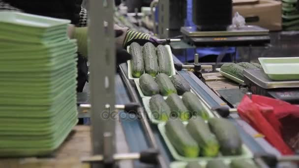 Workers on line of packing fresh cucumbers automatic line in trays