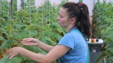 Kertész kötelékek növények a kötelet a függőlegesen támogatja a Vértes
