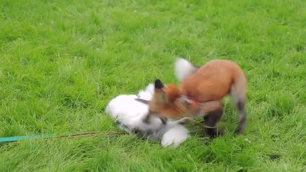 Red and marbled fox in leashes play cheerfully on a green lawn.