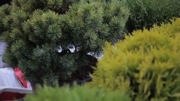 Közeli kép: zöld tűlevelű növények és tuják.