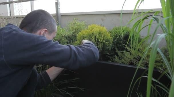 Brutální muž se zabývá prořezávání větví ze zelené Tui v květináčích.