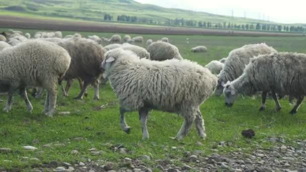 ovce chůzi na zelené louce a jíst zelené trávy pastvy