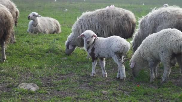 Nahaufnahme einer Schafherde, die an einem Sommertag auf einer Weide im Grünen weidet.