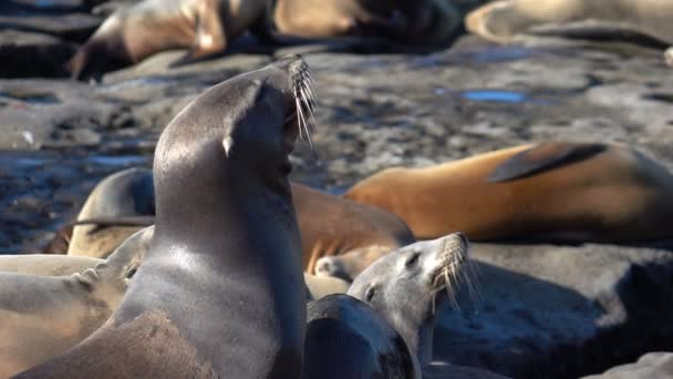 Two videos of herd of seals in real slow motion