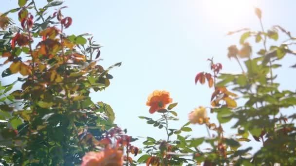 Video of rose flowers in the garden in 4K