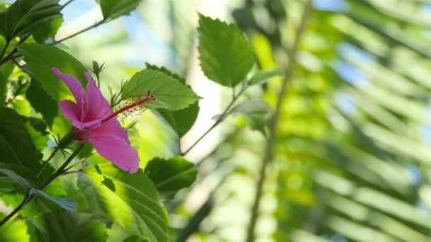Videó a hibiszkusz virágok, 4 k