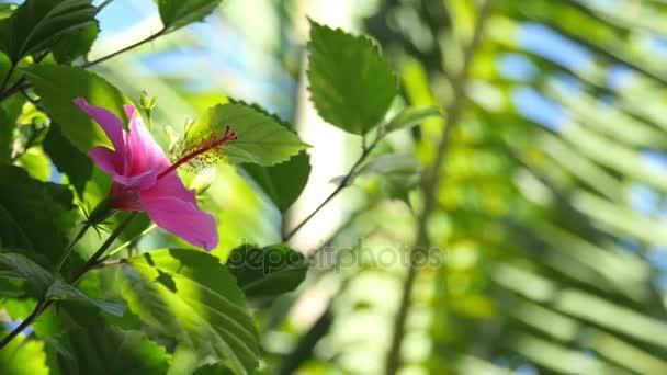 Hibiszkusz virágok, 4 k a két videó